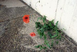 Roter Mohn im Beton